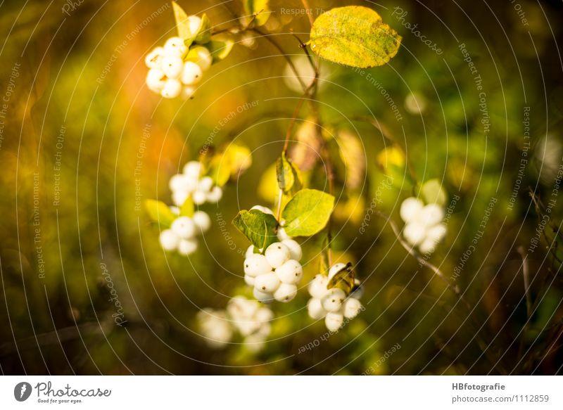 Schneebeere Natur Pflanze Herbst Sträucher Grünpflanze Wildpflanze Wald grün weiß Frühlingsgefühle Warmherzigkeit Gefühle Vergänglichkeit Spaziergang Traumland