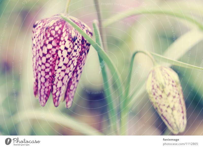 kroko Natur Pflanze schön Blume Wiese Frühling Blüte außergewöhnlich rosa verrückt Blühend Stengel exotisch Anhäufung gefleckt Tierzucht