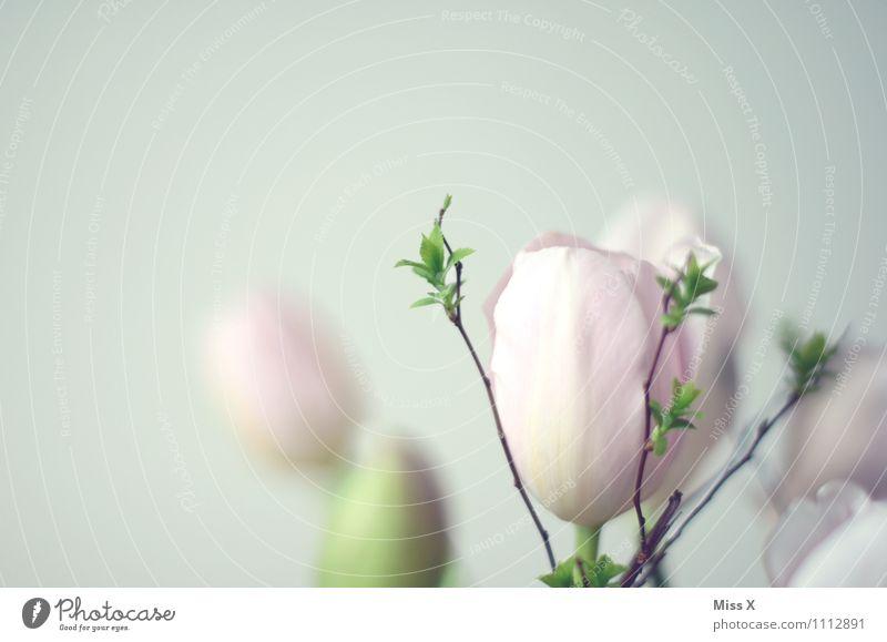 zart Frühling Pflanze Tulpe Blatt Blüte Blühend hell rosa Stimmung Blütenknospen Blattknospe Ast Frühlingsblume Frühblüher Frühlingsfarbe sanft Leichtigkeit