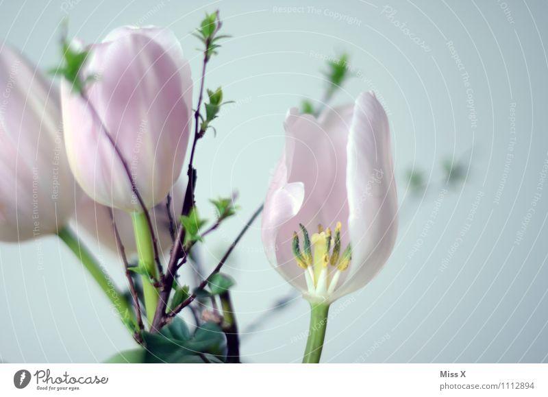 Tulpe rosa Frühling Blume Blüte Blühend verblüht Ast Blütenknospen Blattknospe Blumenstrauß Farbfoto mehrfarbig Außenaufnahme Innenaufnahme Nahaufnahme