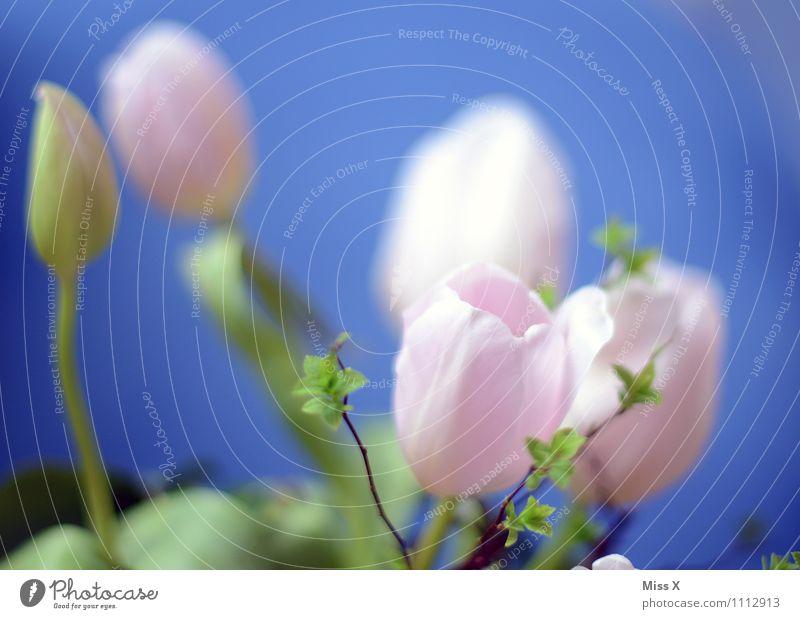 Rosa Frühling Blume Tulpe Blüte Blühend blau rosa Tulpenblüte Blütenknospen Blattknospe Farbfoto mehrfarbig Außenaufnahme Nahaufnahme Menschenleer