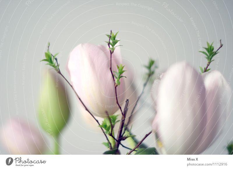 light Ostern Frühling Blume Tulpe Blüte Blühend Wachstum hell rosa Blattknospe Trieb Ast Zweige u. Äste Frühlingsblume Frühlingsfarbe Farbfoto Nahaufnahme