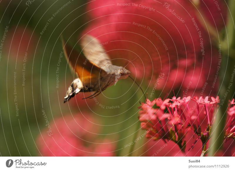Luftbetankung 2 Natur Pflanze Tier Frühling Sommer Blume Blüte Wildpflanze Garten Wiese Wildtier Schmetterling Flügel Kolibris Taubenschwanz 1 fliegen Fressen