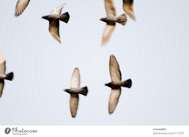 die Vögel l Vogel Taube Feder Schnabel Schweben Luft fliegen Freiheit Flügel verfremdet Himmel ratten der lüfte bewebung