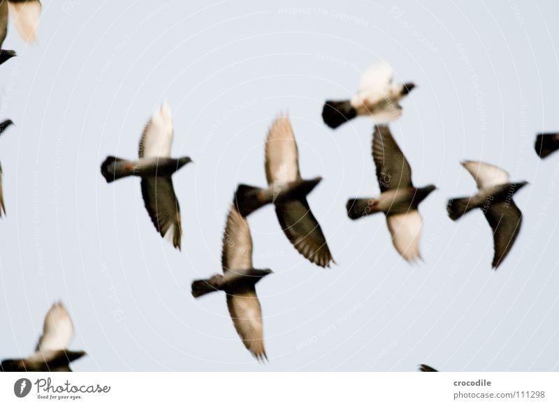 die Vögel lll Vogel Taube Feder Schnabel Schweben Luft fliegen Freiheit Flügel verfremdet Himmel ratten der lüfte bewebung