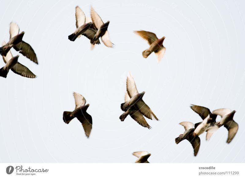 die Vögel lV Vogel Taube Feder Schnabel Schweben Luft fliegen Freiheit Flügel verfremdet Himmel ratten der lüfte bewebung