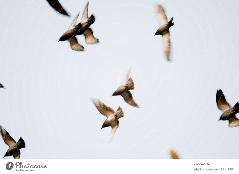 die Vögel ll Vogel Taube Feder Schnabel Schweben Luft fliegen Freiheit Flügel verfremdet Himmel ratten der lüfte bewebung