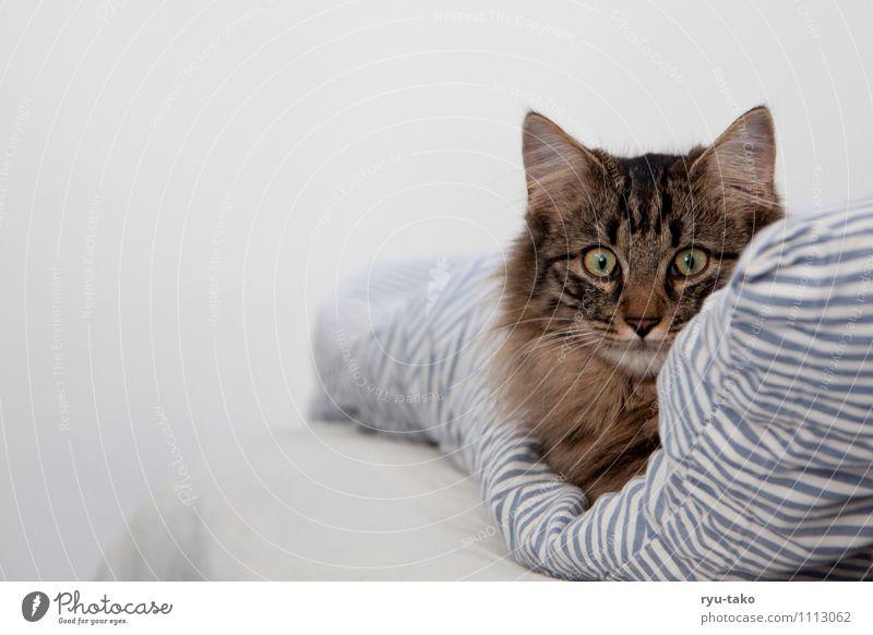 gemütlich im bett Haustier Katze Tiergesicht norwegische waldkatze 1 Tierjunges liegen Neugier niedlich ruhig Bettwäsche Decke weich Pause Hauskatze Farbfoto