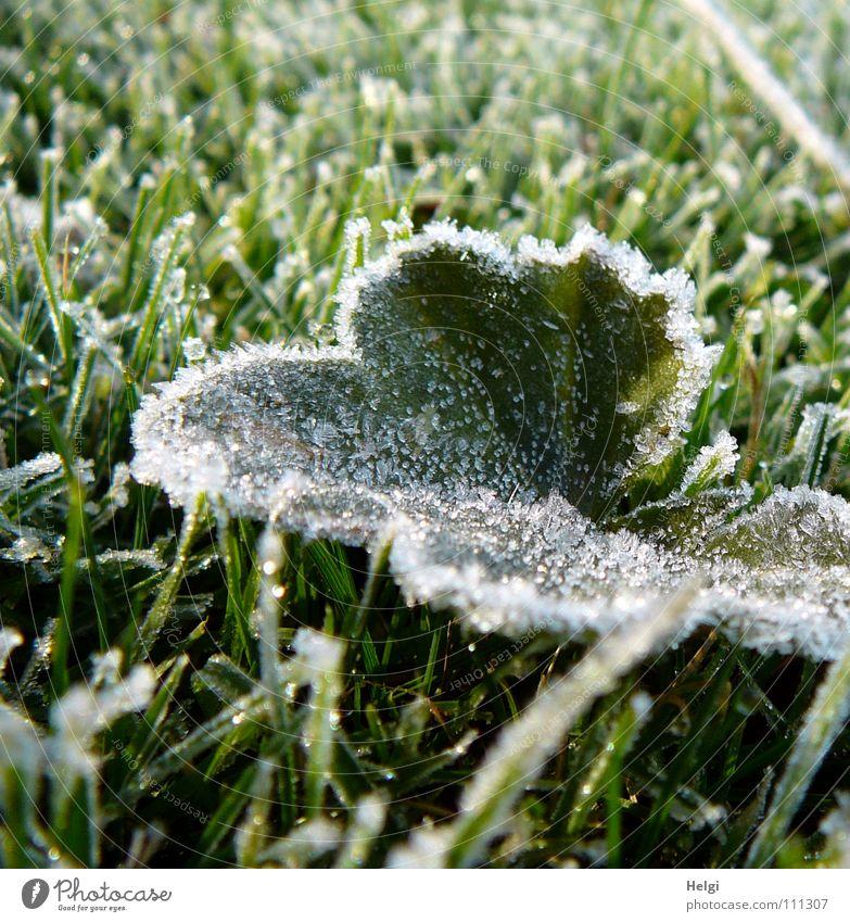 grünes Blatt mit Eiskristallen iegt im gefrorenen Gras Herbst Winter Raureif frieren kalt Morgen Wiese Halm glänzend weiß gelb rund lang dünn Makroaufnahme