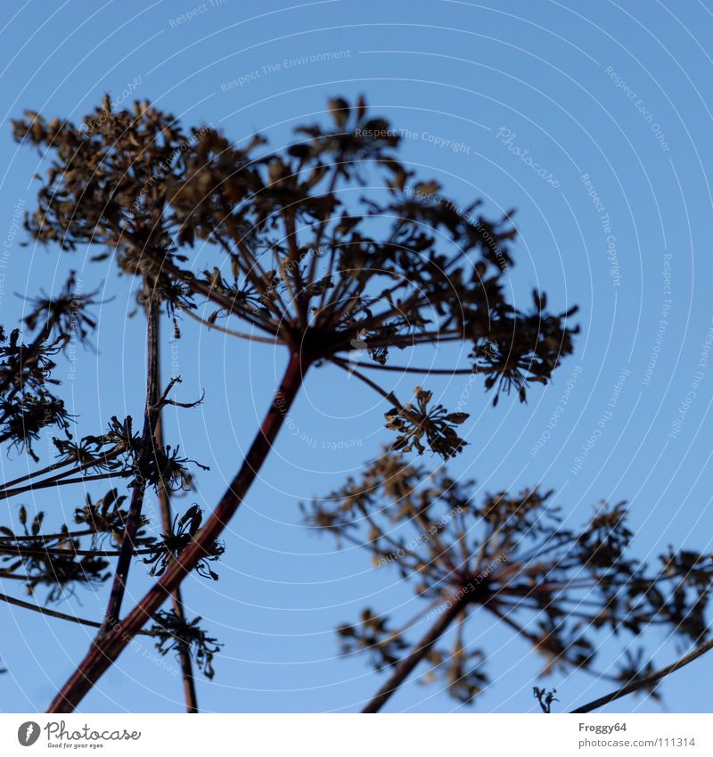 Schafgarbe Gewöhnliche Schafgarbe Wiesenkerbel Pflanze Stengel Doldenblütler Heilpflanzen Botanik himmelblau Ozon Gesundheit Wildtier Himmel fliegen