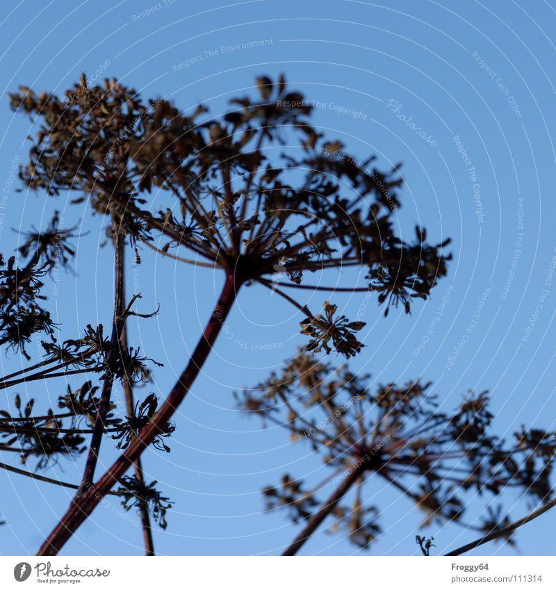 Schafgarbe Himmel blau Pflanze Gesundheit fliegen Stengel Wildtier Botanik himmelblau Ozon Heilpflanzen Unkraut Doldenblütler Wiesenkerbel