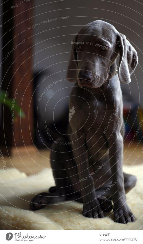 Prinzessin TIA Hund klein Welpe niedlich Weimaraner Fell Schnauze grau Pfote Säugetier sitzen Blick Maul Auge Ganzkörperaufnahme Vorderansicht Tierjunges