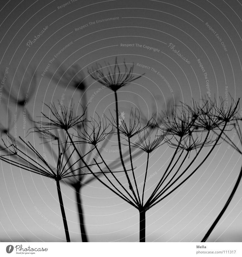 Rispe 2 Blüte trocken schwarz grau Silhouette Gegenlicht herausragen Abend Herbst Winter Schwarzweißfoto verblüht getrocknet Tod Kontrast abstehend herausragend