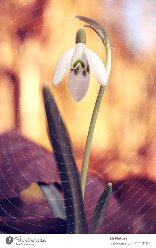 Schneeglöckchen Natur blau Pflanze grün weiß Blume rot Blatt ruhig Umwelt gelb Wiese Frühling Blüte Garten braun
