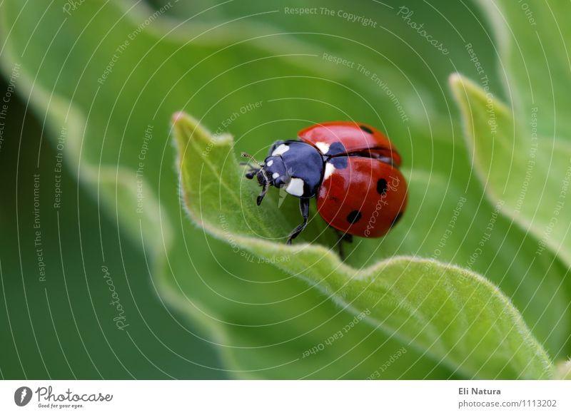 Marienkäfer 2.0 Natur blau Pflanze grün weiß Sommer rot Blatt Tier schwarz Umwelt Wiese Frühling Glück klein Garten