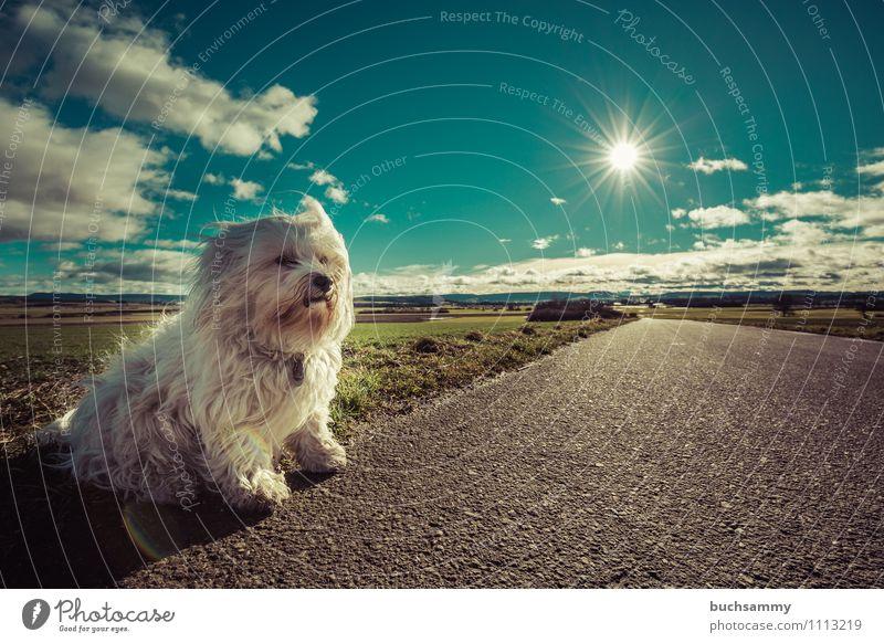 Am Straßenrand Sonne Natur Tier Wolken Fell langhaarig Haustier Hund 1 klein blau grün weiß Bichon Haushund Havaneser Sonnenschein Säugetier himmel sitz