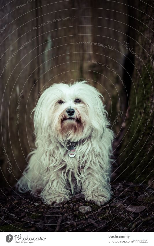 Lässiger Hund Tier Fell langhaarig Haustier 1 Freundlichkeit klein braun weiß gehorsam Baumstamm Bichon Haushund Havaneser Säugetier Textfreiraum sitz Farbfoto