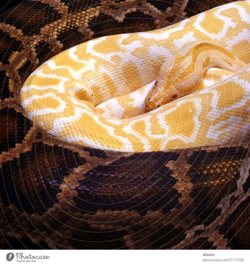 Python molurus - Albino (1) Farbfoto Innenaufnahme Muster Textfreiraum unten Kunstlicht Kontrast Tierporträt Wärme Wildtier Schlange Zoo 2 Zusammensein braun