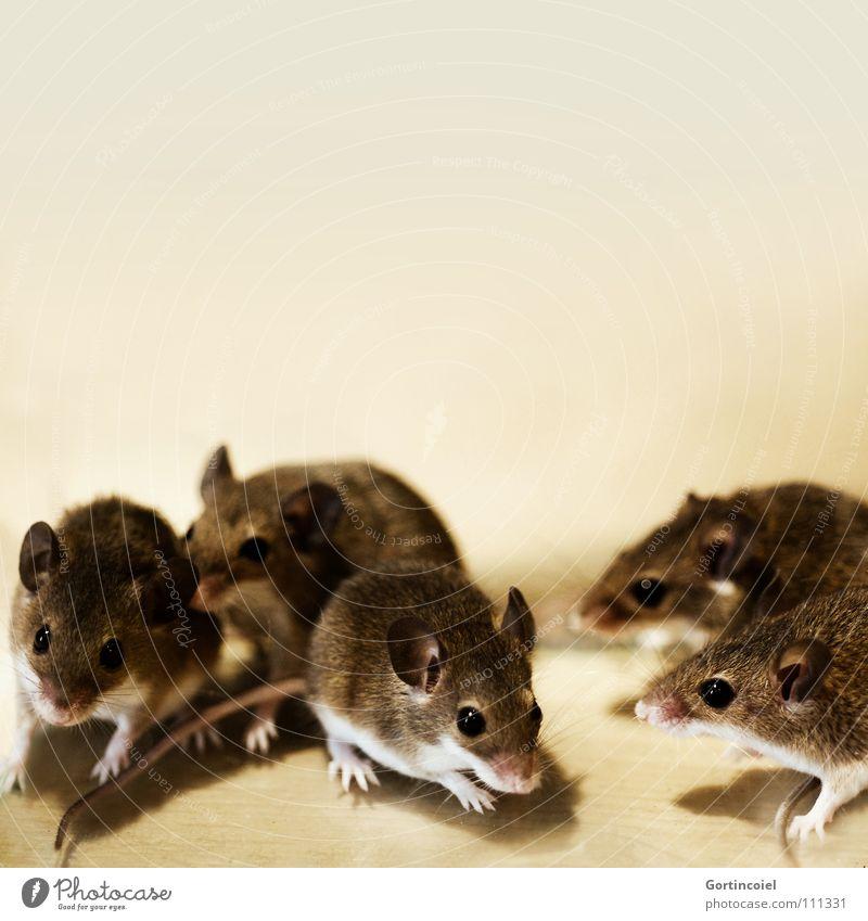 Das Rudel Haustier Maus Tiergesicht Fell Pfote Tiergruppe Tierfamilie klein niedlich braun Knopfauge Nagetiere winzig Säugetier Zwergmaus Knirpsmaus