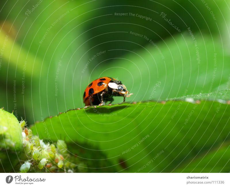 Schnuteabwischen nach den Süßigkeiten Marienkäfer rot grün Blattläuse Makroaufnahme Laus Nahaufnahme Natur Käfer