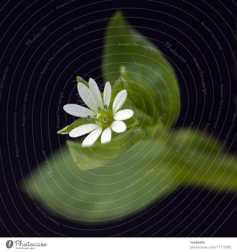 Vogelmiere, Stellaria, media, Alternativmedizin Natur Pflanze Blüte Wildpflanze frei schwarz weiß Ackerpflanze Unkraut Ackerunkraut Heilpflanzen Heilgarten