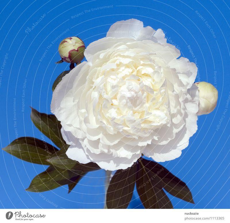 Weisse Pfingstrose; Paeonia lactiflora Gesundheitswesen Alternativmedizin Natur Pflanze Blume Blüte frei blau weiß Gichtrose Blutrosen Gichtrosen Sommerblumen