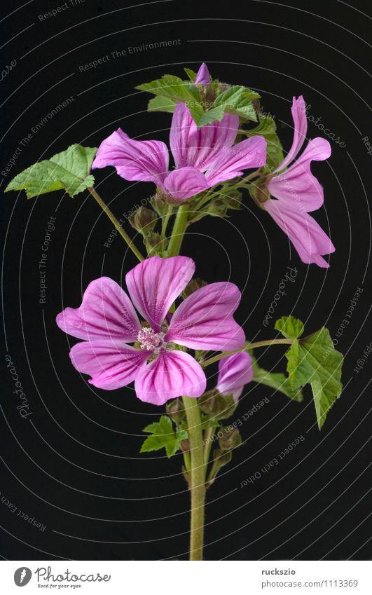Wilde Malve, Malva sylvestris Alternativmedizin Natur Pflanze Blüte Wildpflanze Garten Blühend frei groß wild violett schwarz Malvenbluete Algiermalve