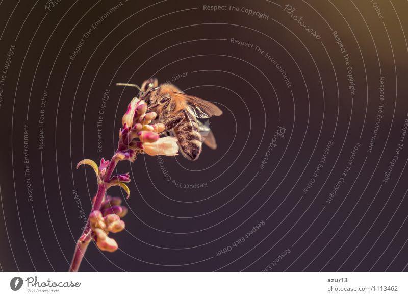 Bienensterben - Biene sitzt auf Blume vor schwarzem Hintergrund Natur Pflanze schön weiß Sommer Erholung Blatt Landschaft ruhig Tier dunkel Umwelt Leben Wiese