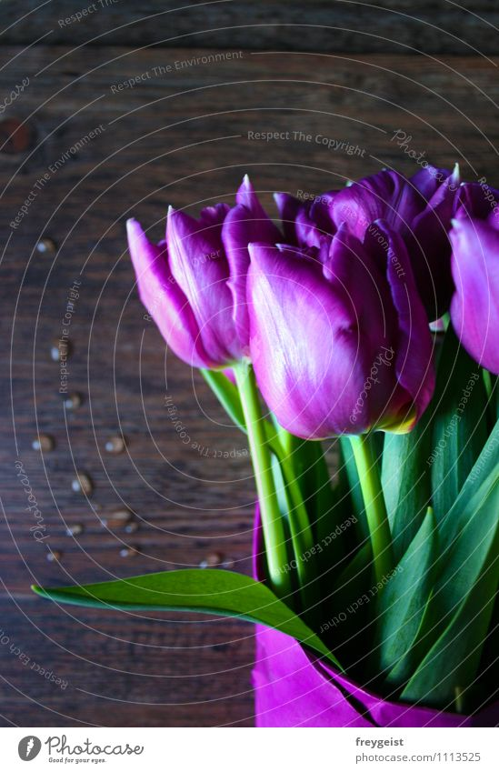 Tulpen aus Amsterdam... Pflanze Frühling Sommer Blume Blatt Blüte Grünpflanze Blühend Duft liegen Wachstum Fröhlichkeit frisch grün violett rosa Freude Glück