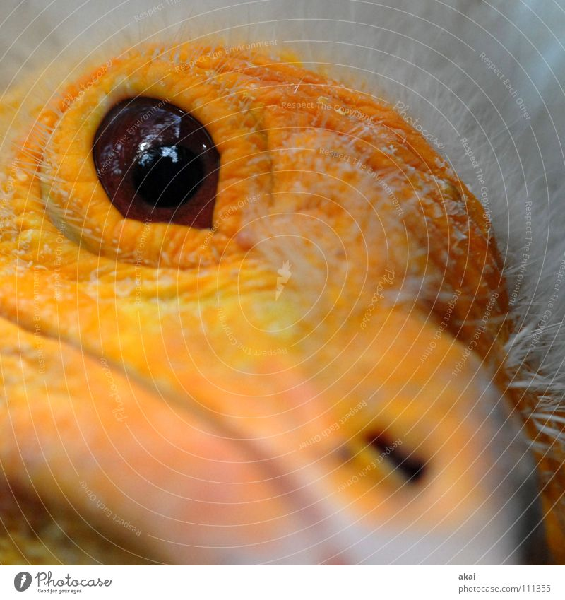 Schmutzgeier Geier Aasfresser Tier Vogel Feder Schwanz mausern Makroaufnahme Nahaufnahme Luftverkehr Neophron percnopterus Wüste Sahara Jungvögeln Accipitridae