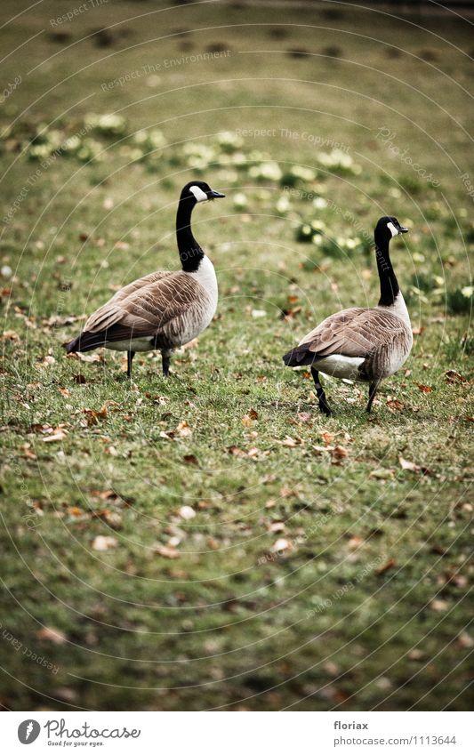 kanadagänse beim sonntagsspaziergang Natur grün Erholung Tier Umwelt Bewegung Gefühle grau gehen Vogel Zusammensein Park Zufriedenheit Tierpaar laufen Aussicht