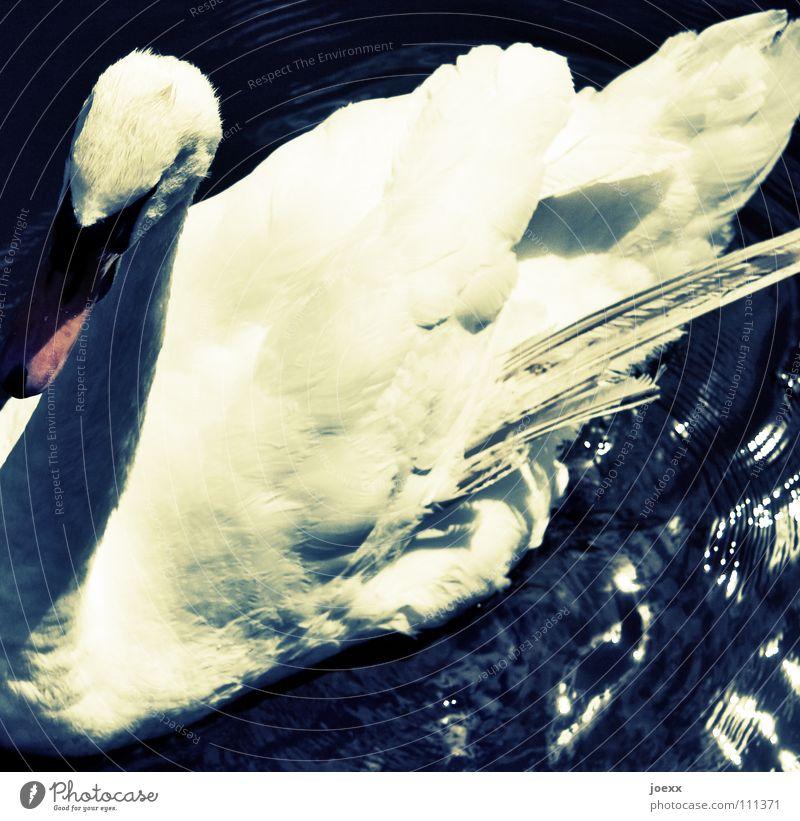 Sterbender Schwan alt Wasser Sommer Vogel Feder Flügel Schwan Schwäche Umweltverschmutzung grell Ausfall labil vergiftet Seuche ausfallen Höckerschwan