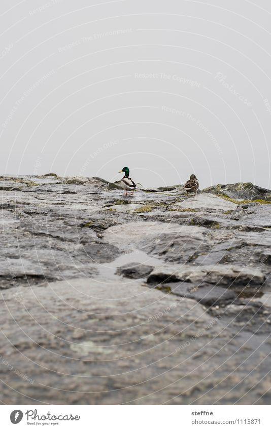 Tierisch gut: Entlein Seeufer Wildtier Vogel 2 trist nass Regen Ente Erpel Stockente Felsen Farbfoto Gedeckte Farben Außenaufnahme Menschenleer