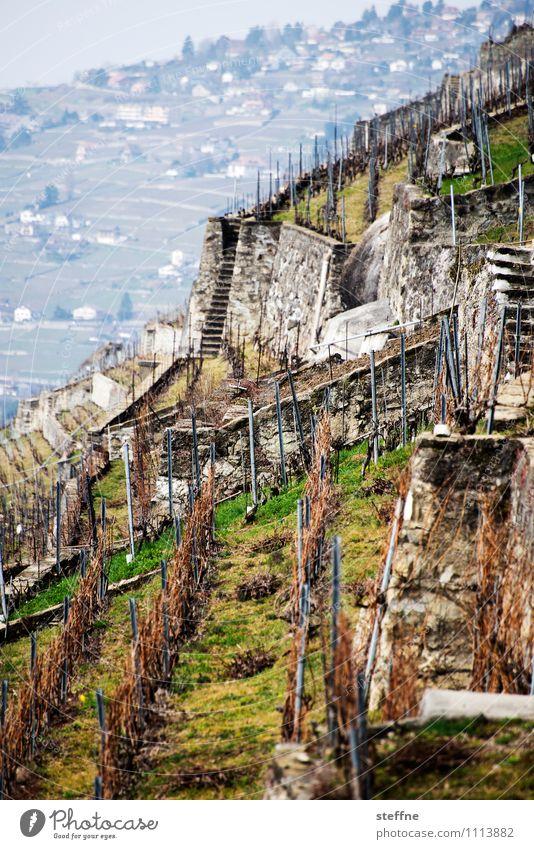 Alpine Weinberge Frühling Pflanze Berge u. Gebirge Lausanne Schweiz Berghang Weinlese Landwirtschaft steil Farbfoto Außenaufnahme Tag