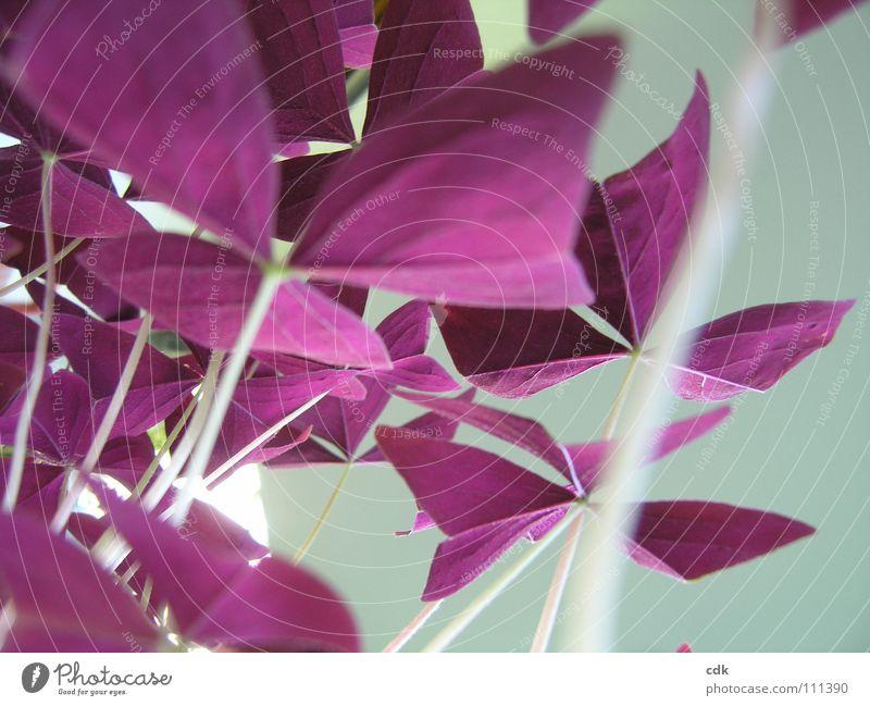 Glücksklee Pflanze Zimmerpflanze Stil Klee rot violett zerbrechlich zart schön Anmut leicht außergewöhnlich mehrere Schmetterling aufmachen schließen Wachstum