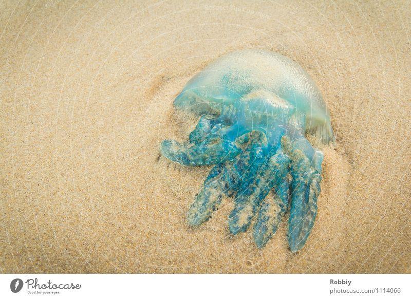 Schwibbelschwabbel I Natur Sand Küste Strand Bucht Meer Insel Pazifikstrand Qualle 1 Tier liegen blau Ferien & Urlaub & Reisen Totes Tier Gedeckte Farben