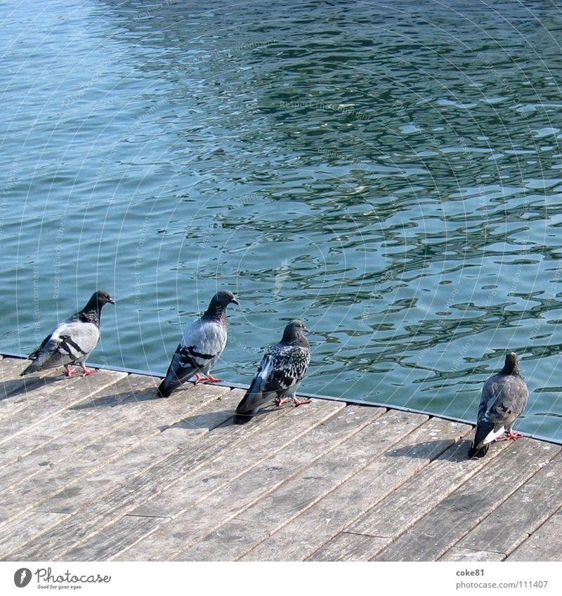 tauben_blau Meer blau Holz grau Vogel Hafen Taube