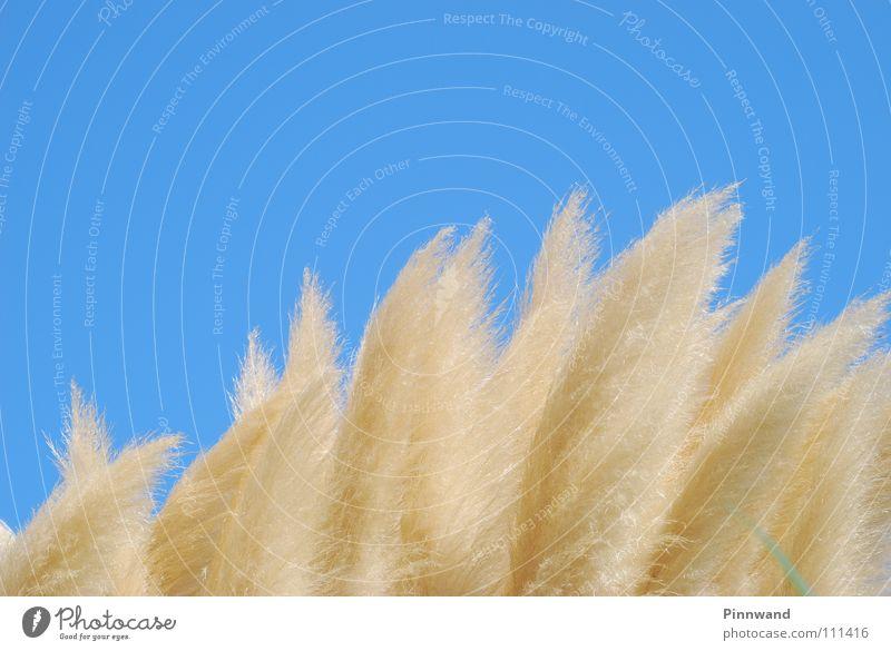 flaumig Wolken himmelblau Luft Sauerstoff Horizont Unendlichkeit Watte weich Fernweh Ferne Flaum Wolle samtig fliegend Sommer grün weiß Wollgras Pflanze Blume