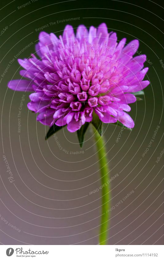 violette Blume Garten Natur Blatt Blühend braun grün rot schwarz Pollen Blütenstempel Blütenblatt Frühling Vorbau Nahaufnahme Makroaufnahme