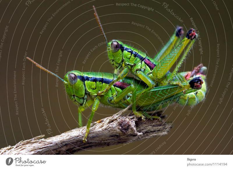 Nahaufnahme von zweien Natur Pfote Liebe Sex braun grau grün rot schwarz Farbe Heuschrecke kleben Zweig Insekt Holz Auge Nachbau Makroaufnahme
