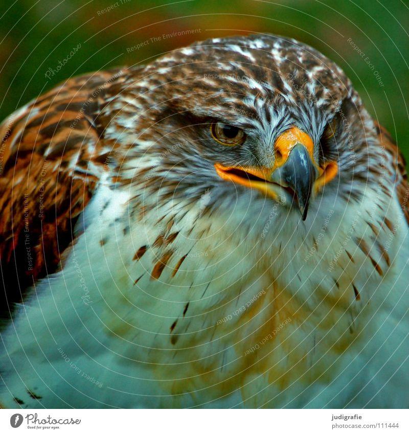 Adler Bussard Vogel Greifvogel Schnabel Feder Ornithologie Tier schön Farbe königsraufußbussard Stolz Blick