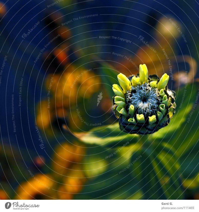nicht Fisch nicht Vogel Blume Blüte Herbst Pflanze Blühend frisch gelb grün mehrfarbig schön blumig mädchenhaft herbstlich blüteninneres zinnie