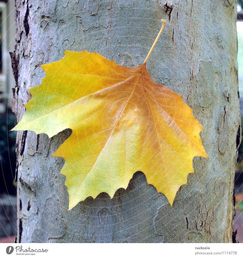 Platanenblatt; Herbst; Stamm; Baum Blatt Park Wald authentisch Platanus x hispanica Ahornblaettrige Gewoehnliche Platanenblaetter Laubbaum Nutzbaum Heimischer