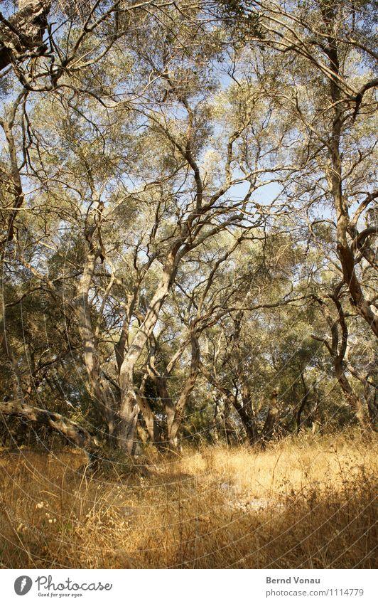 Griechischer Reichtum Umwelt Natur Landschaft Pflanze Wolkenloser Himmel Sonne Sommer Baum Gras Wald Korfu Griechenland Europa authentisch hell schön Wärme wild
