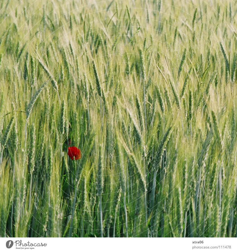 der mohn grün rot Sommer Einsamkeit Wiese Frühling Wind Mohn