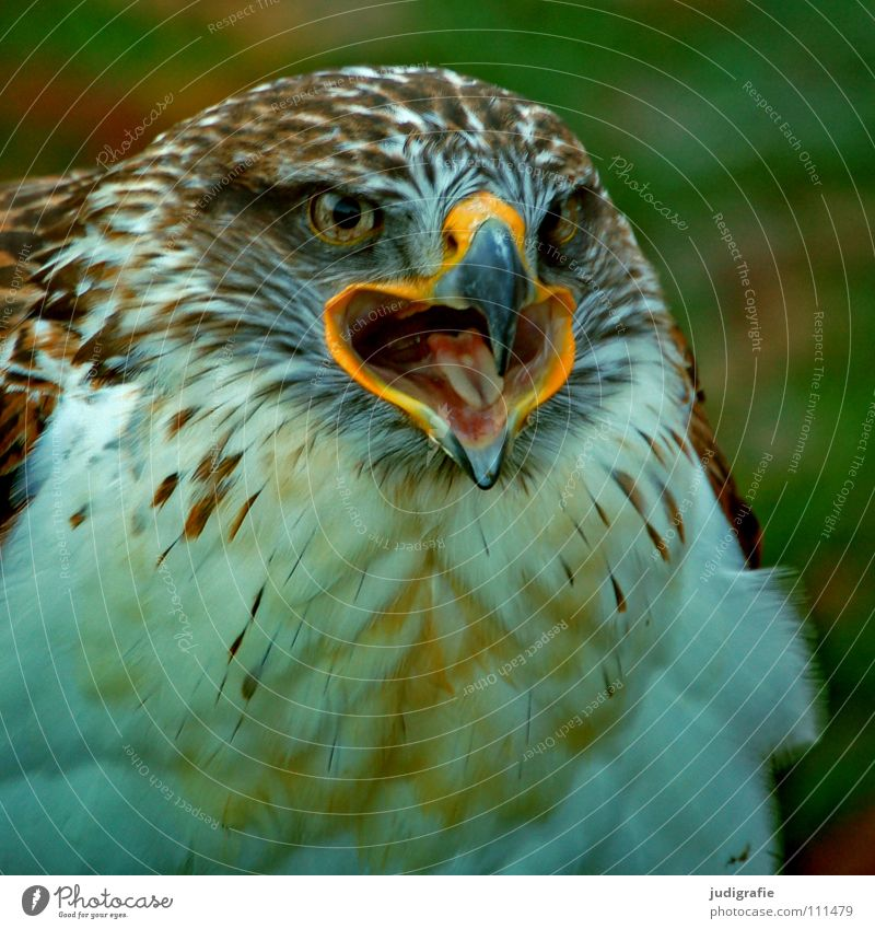 Adler schön Tier Farbe Vogel Feder Schnabel Stolz Greifvogel Ornithologie Bussard