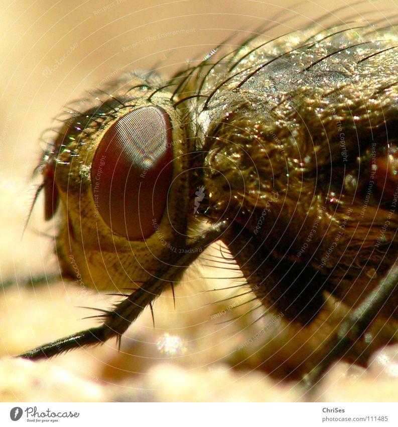 Neulich an der Hauswand 02 (Schwebfliege) Insekt Zweiflügler Wand niedlich Schädlinge Tier Facettenauge Fühler Metall braun frontal Nordwalde Makroaufnahme
