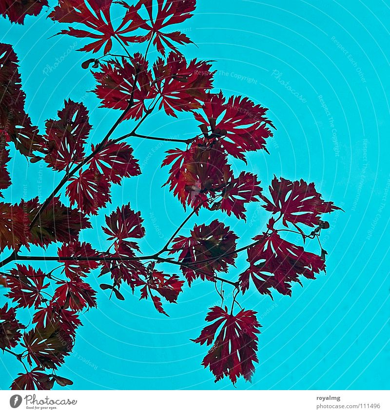 jetzt... Himmel blau rot Blatt Herbst Frühling braun Zweig Herbstlaub