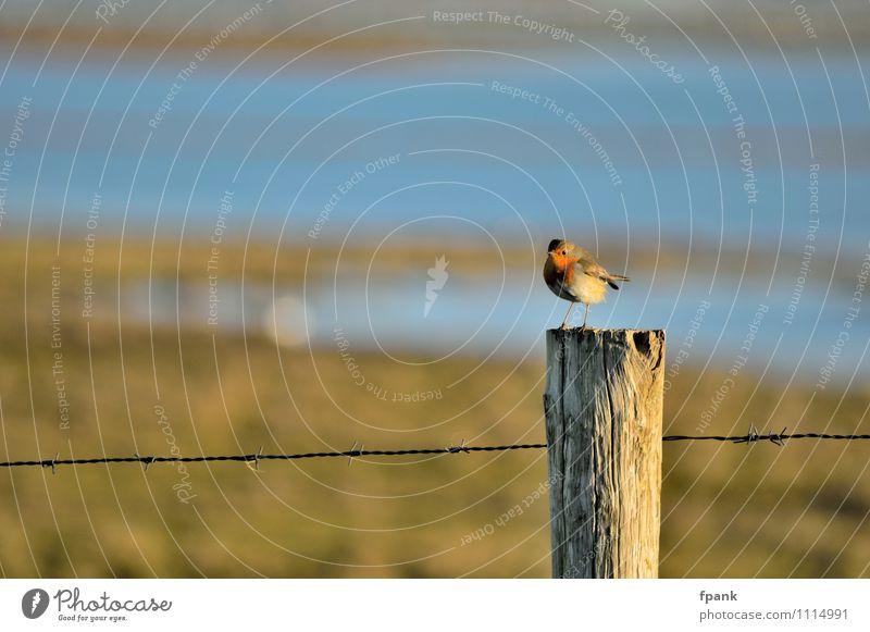 """Unerwartete Zaunpfahlbesetzung Tier Wildtier Vogel """"Rotkehlchen Singvogel"""" 1 """"Draht Stacheldraht Zaun"""" Holz klein Farbfoto Außenaufnahme Tag Sonnenlicht"""