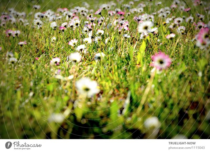 Gänseblümchen Natur Pflanze Erde Frühling Sommer Schönes Wetter Blume Gras Blatt Blüte Grünpflanze Wildpflanze Wiese authentisch Freundlichkeit Fröhlichkeit